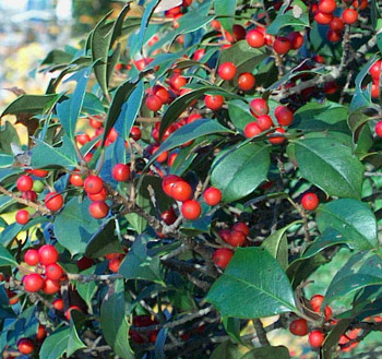 American holly (Ilex opaca).  Photo by Ginny Stibolt