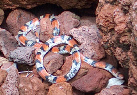 Scarlet Snake baskign on rocks.  Photo by Stibolt