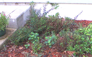 Mexican Heather & weeds on right side of back step.  Photo by Stibolt