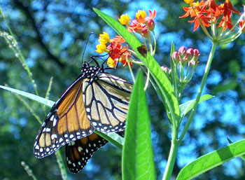 Monarch on milkweed.  Photo by Stibolt