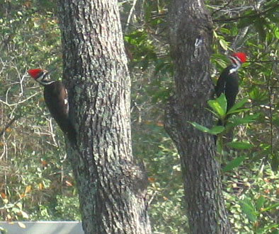 A pair of pilated woodpeckers in a red bay tree.  Photo by Stibolt.
