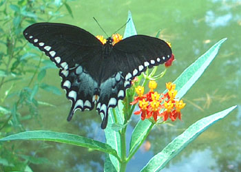 Spice bush Swallowtail on scarlet milkweed.  Photo by Stibolt