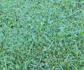 A close up of Ginny's lawn shows that it's inhabited by several types of plants--not all grasses. Photo by Stibolt