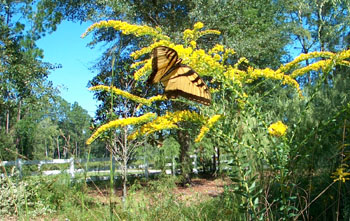 Tiger Swallowtail on Golden Rod in our front meadow.  Photo by Stibolt