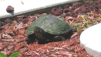 After laying her eggs the Cooter packed them with sand and then reset the mulch.  -- Photo by Avery