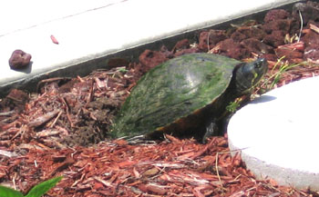 A Common Cooter laying eggs - Photo by Avery