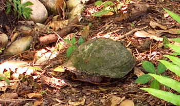 The back of our Cooter's shell looks pretty ragged as she walks next to Ginny's rain garden to get back to the pond.