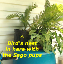 Wren's nest in with the sago pups.  Photo by Stibolt