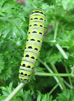 Black swallowtail caterpillar.  Photo by Stibolt.