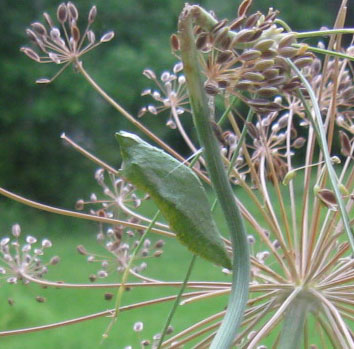 A black Swallowtail chrysalis in Ginny's dill.  Photo by Stibolt