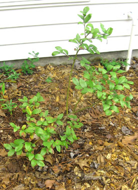 One of Ginny's blueberry plants a year and a half later... Photo by Stibolt