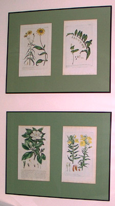Four hand-colored prints of Black Eyed Susan, Solomon's Seal, Jamine, and Evening Primrose