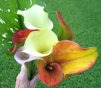 Ginny's calla lilies in 2010.  Photo by Stibolt