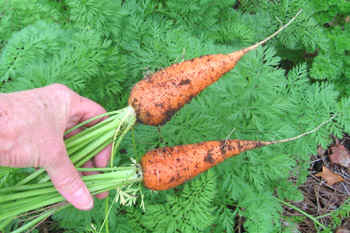 Ginny's carrots from her cool weather garden.  Photo by Stibolt