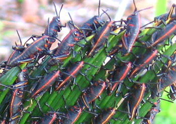 Eastern Lubber Grasshoppers, Romalea guttata. Photo by Stibolt.