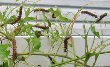 Ginny's passion vine was completely denuded by Gulf fritillary caterpillars.  Photo by Stibolt.