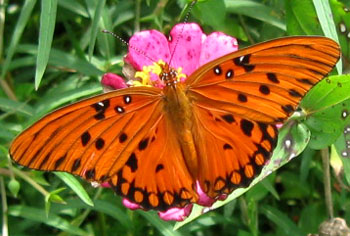 Gulf fritillary on a pink zinnia.  Photo by Stibolt