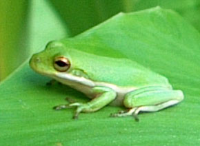 Treefrog on a canna leaf.  Photo by Stibolt