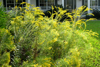 Goldenrod and flat-topped goldenrod in Ginny's front yard.  Photo by Stibolt