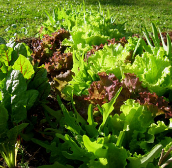 An assortment of lettuces and chard in Ginny's garden. Photo by Stibolt