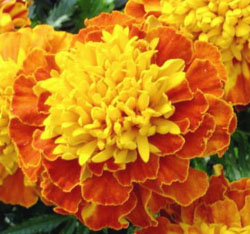 French marigolds. Photo by Stibolt