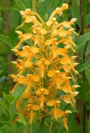 Orange fringed orchids in Clay County.  Photo by Stibolt