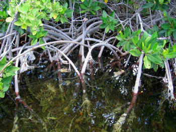 Red mangrove prop roots create excellent habitat for fish, crabs and birds.  Photo by Stibolt