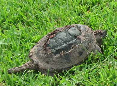 Snapping turtle after Fay.  Photo by Stibolt