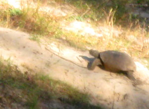 Gopher tortoise at Jacksonville Arboretum Photo by Ginny Stibolt