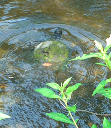 Turtle in pond after laying her eggs