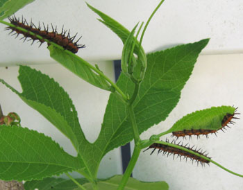 Zebra longwing caterpillars on a passionflower vine. Photo by Stibolt